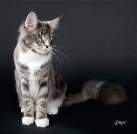 S Topzytails Maine Coon